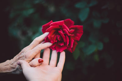 Old and young hands touching rose