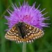 avatar butterfly on clover