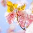 142x142px-affinity-avatar-blossom.jpg