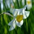 Avatar daffodil