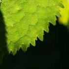 avatar leaf