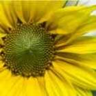 142x142px-avatar-sunflower.jpg